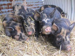 Pigs2013